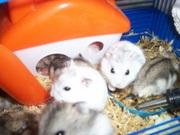 дарим.хомячки джунгарики.hamsteri daruim